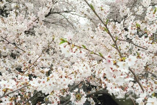[포토뉴스] 내년 벚꽃여행은 도쿄 어때요?