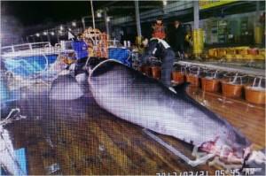 위판된 고래 모습(사진=영덕군 제공)