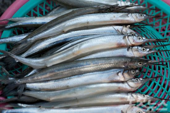 씨 마르는 꽁치·고등어…온난화로 어획량 급감