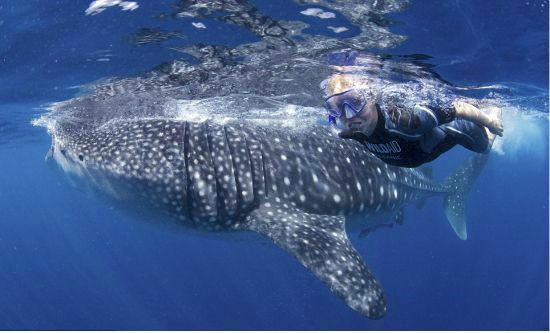 신비한 자연 체험 '오슬롭 고래상어 투어'
