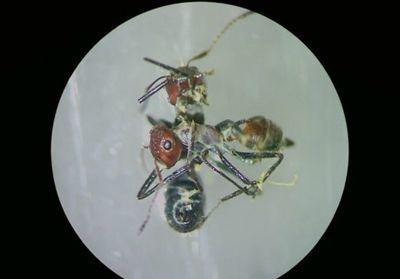 '적이 위협하면 자폭' 집단 위해 희생하는 개미 발견