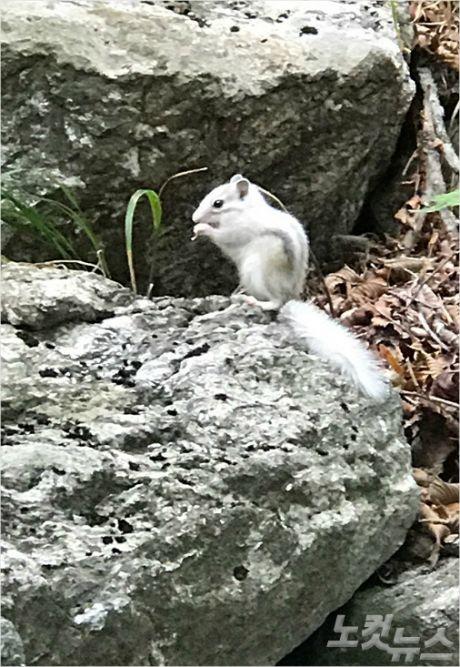 지난달 25일 설악산에서 발견된 알비노 다람쥐. (사진=설악산국립공원사무소 제공)