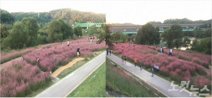 대전 금강변 초화단지에 만개한 핑크뮬리. (사진=대전시 제공)