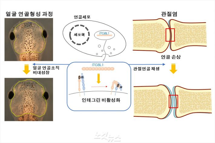 ITGBL1 유전자를 많이 발현시키면 인테그린 신호가 억제돼 올챙이 얼굴뼈가 커지고 관절 연골도 재생된다.(그림 = UNIST 제공)