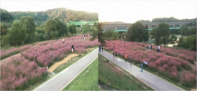 """""""핑크뮬리 인증샷 열풍에 편승하는 지자체, 문제는..."""""""