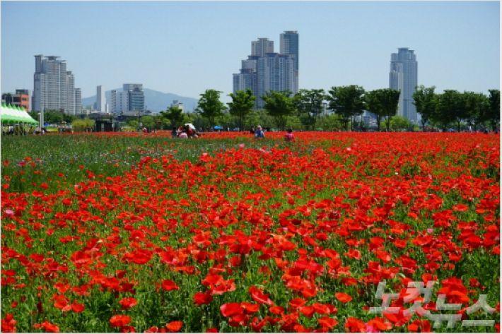 울산 중구 태화강대공원에 활짝 핀 꽃.(사진 = 울산CBS 자료)