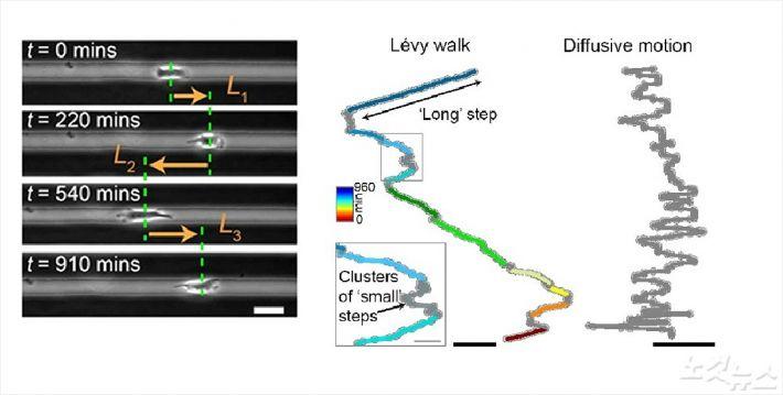 1차원에서의 암세포 이동 및 레비워크와 단순 확산 비교