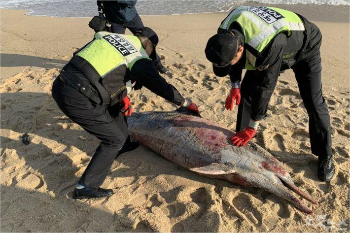 9일 오전 7시 35분쯤 강원 강릉시 강문동 스카이베이 호텔 앞 경포해변 인근에서 참돌고래 사체 1구가 발견됐다. (사진=동해해양경찰서 제공)