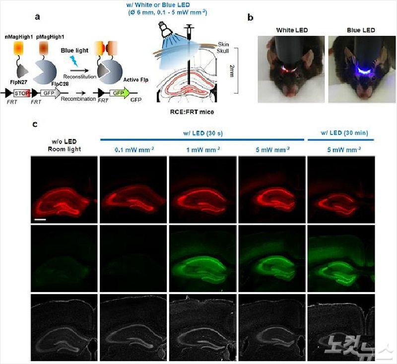 빛만 비춰도 유전자 발현 조절하는 효소 개발…광유전학 응용 기대