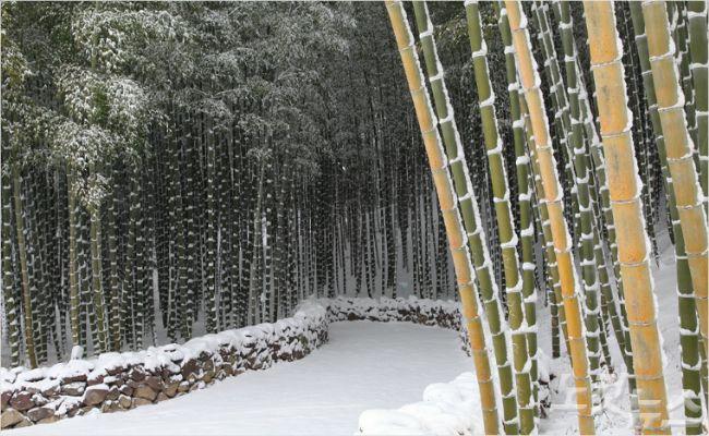 전남도, 1월 명품 숲에 담양 만성리 대숲