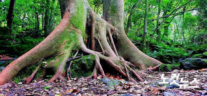 [많은 식물들이 자랄 수 있는 환상숲 곶자왈 숨골. (사진=환상숲제공)]