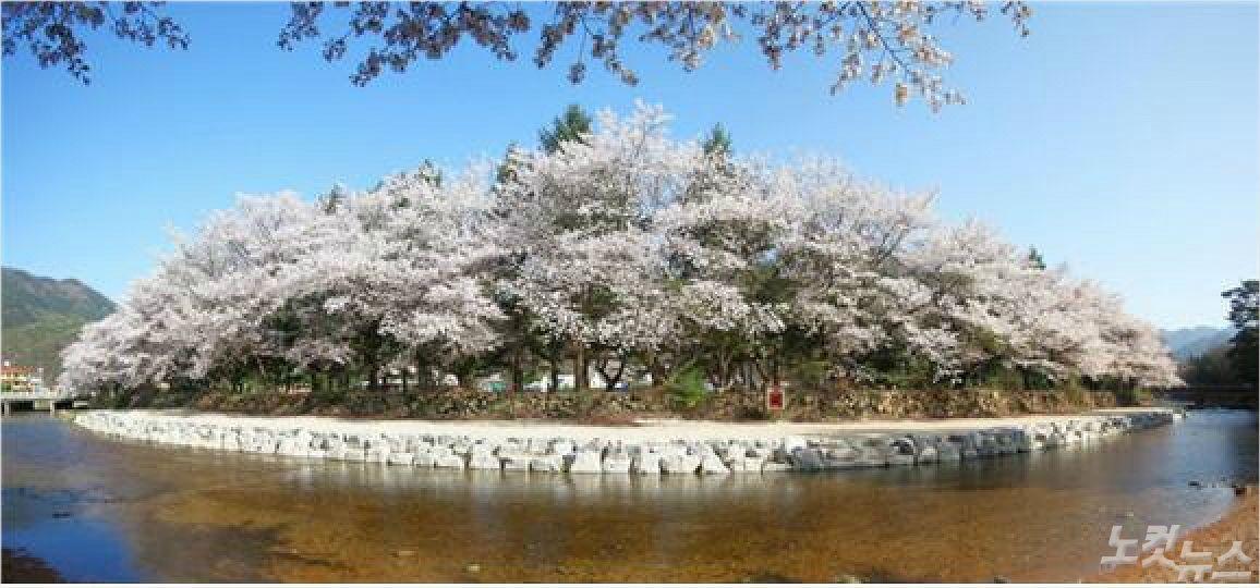 속리산 벚꽃 개화...다음주 절정