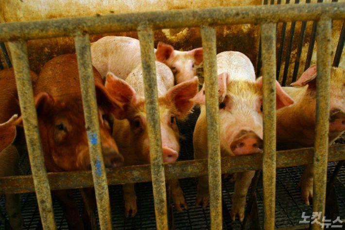 돼지열병 확산…베트남 55개 지역 245만 마리 살처분