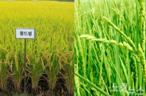 경기도, 쌀 '종자독립' 선언… 일본米, 국내종 대체