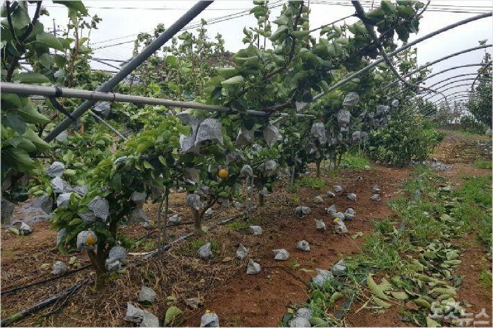 태풍 '링링'으로 피해입은 과수농가 총력 지원