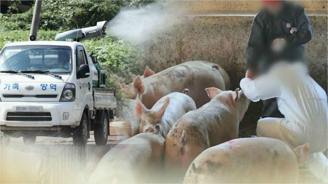 김포 돼지농장 '아프리카돼지열병' 확진(종합)