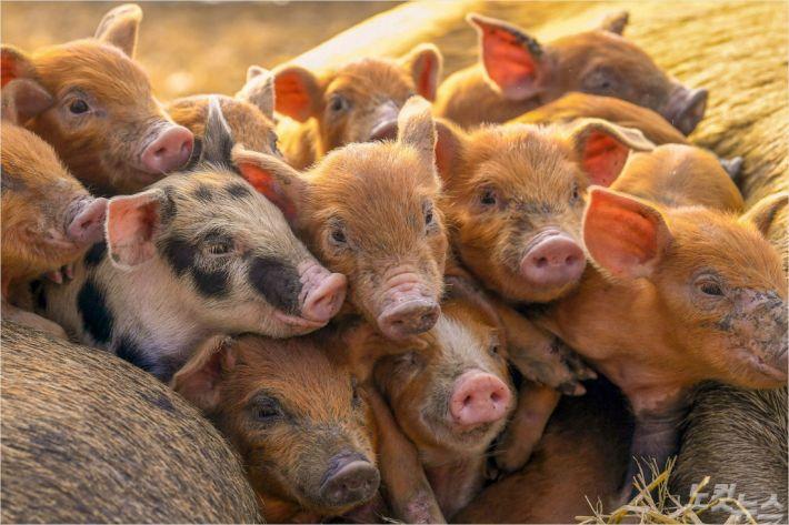 ASF 충격, 전세계 돼지 1/4 폐사 가능성