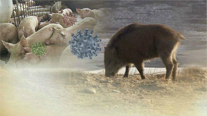 포획틀서 잡힌 멧돼지서 아프리카돼지열병 첫 검출