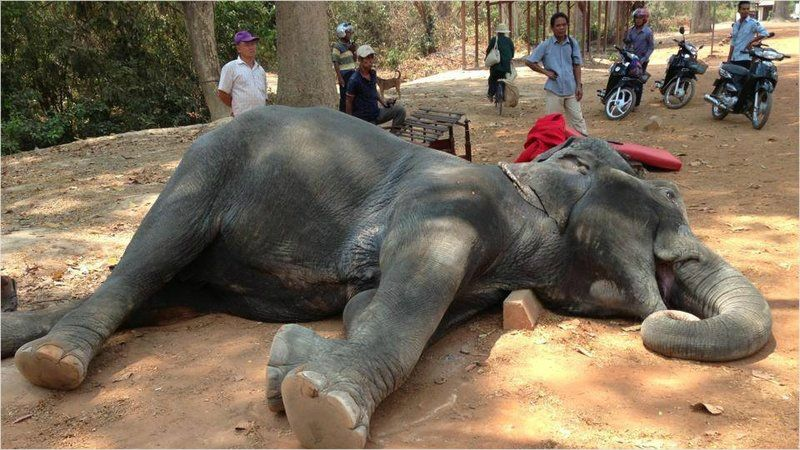 캄보디아 앙코르와트 '코끼리 관광' 19년 만에 중단