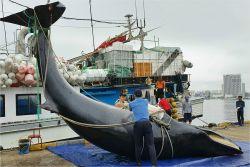 강원 속초항 인근서 길이 7.8m 밍크고래 사체 발견