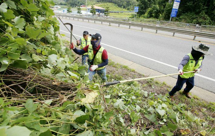태안군, 도로변 칡덩굴과의 전쟁 선포…도로변 280km 칡덩굴 제거 나서