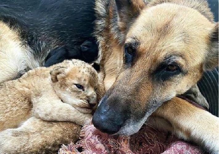 버려진 사자 새끼 2마리…반려견이 품었다