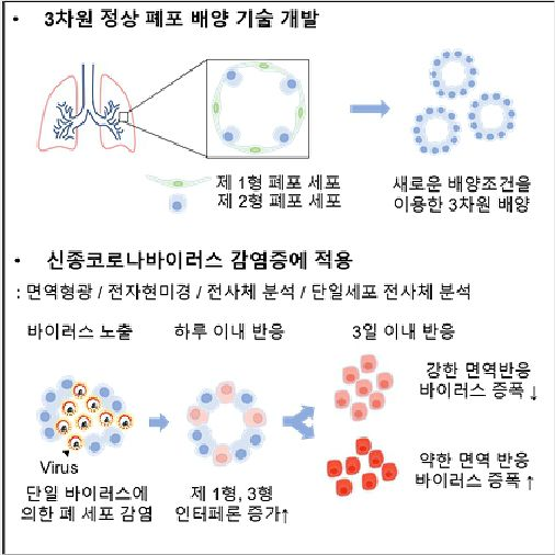 사람 3D 폐포(허파꽈리) 배양 기술로 '코로나19' 감염 기전 규명